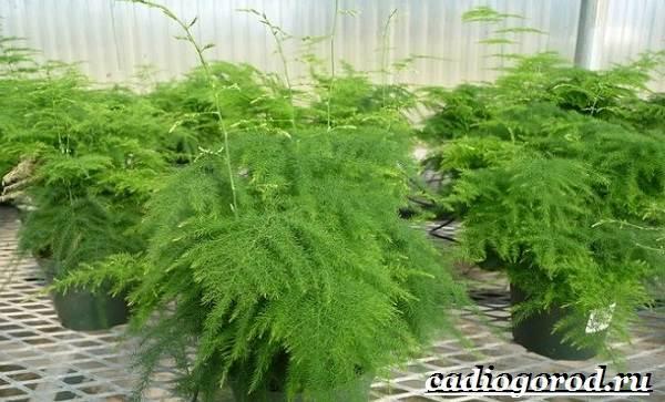 Аспарагус-цветок-Выращивание-аспарагуса-Уход-за-аспарагусом-18