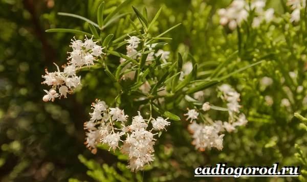 Аспарагус-цветок-Выращивание-аспарагуса-Уход-за-аспарагусом-2