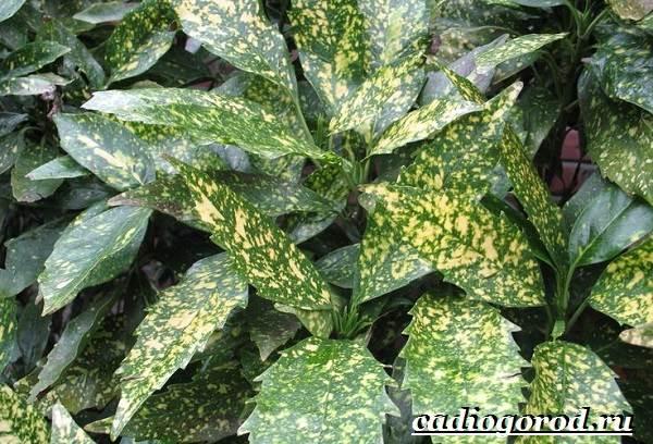 Аукуба-цветок-Выращивание-аукубы-Уход-за-аукубой-4