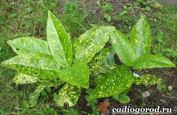 Аукуба-цветок-Выращивание-аукубы-Уход-за-аукубой-7