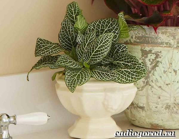 Фиттония-цветок-Выращивание-фиттонии-Уход-за-фиттонией-1