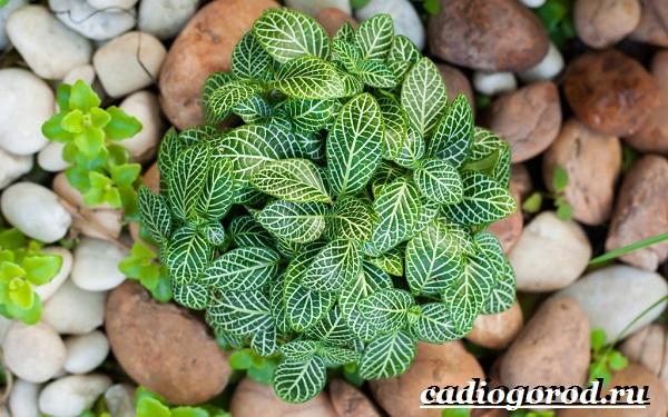 Фиттония-цветок-Выращивание-фиттонии-Уход-за-фиттонией-11