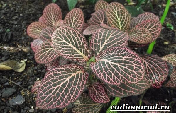 Фиттония-цветок-Выращивание-фиттонии-Уход-за-фиттонией-3
