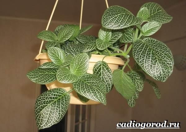 Фиттония-цветок-Выращивание-фиттонии-Уход-за-фиттонией-7