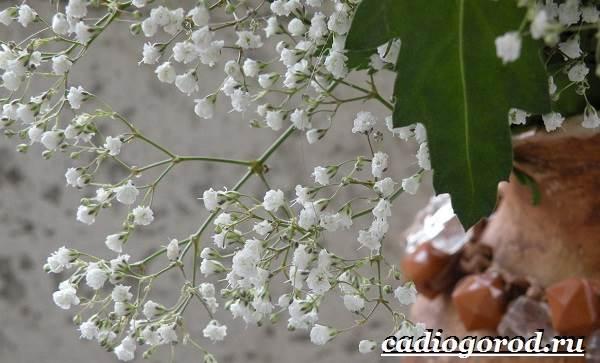 Гипсофила-цветок-Выращивание-гипсофилы-Уход-за-гипсофилой-1