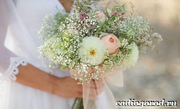 Гипсофила-цветок-Выращивание-гипсофилы-Уход-за-гипсофилой-11