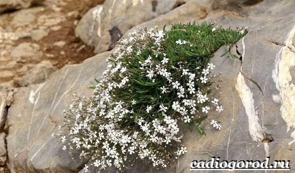 Гипсофила-цветок-Выращивание-гипсофилы-Уход-за-гипсофилой-8