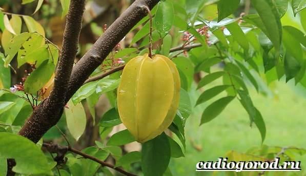 Карамбола-фрукт-Польза-карамболы-Как-выбрать-карамболу-Как-есть-карамболу-4