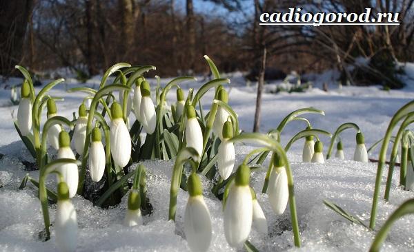 Подснежник-цветок-Описание-особенности-виды-и-защита-подснежников-3