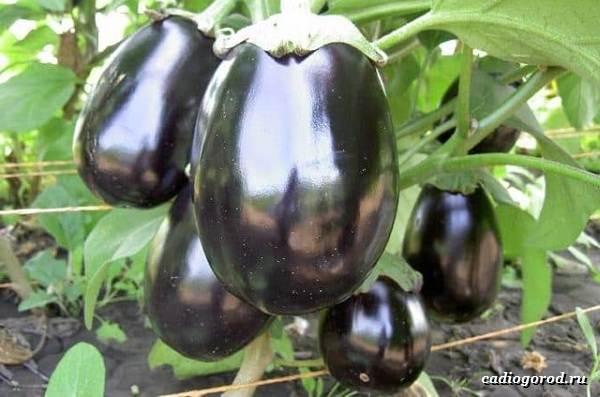 Выращивание-баклажанов-Как-и-когда-сажать-баклажаны-12