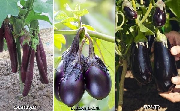 Выращивание-баклажанов-Как-и-когда-сажать-баклажаны-18
