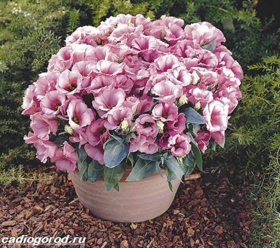 Эустома-цветок-Выращивание-эустомы-Уход-за-эустомой-6
