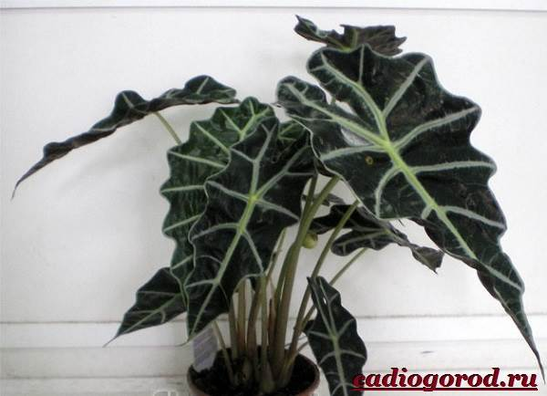 Алоказия-цветок-Выращивание-алоказии-Уход-за-алоказией-20