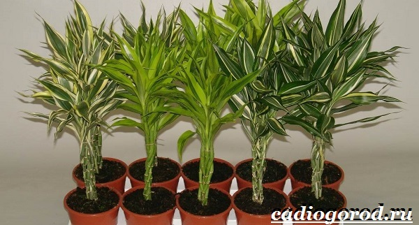 Бамбук-растение-Выращивание-бамбука-Уход-за-бамбуком-12