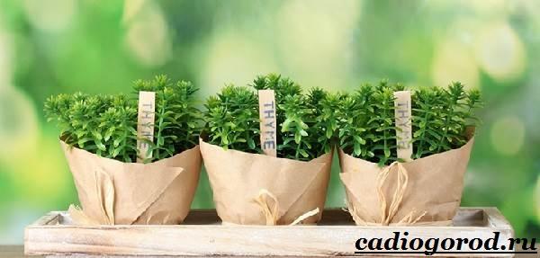 Чабрец-трава-Выращивание-чабреца-Уход-за-чабрецом-22
