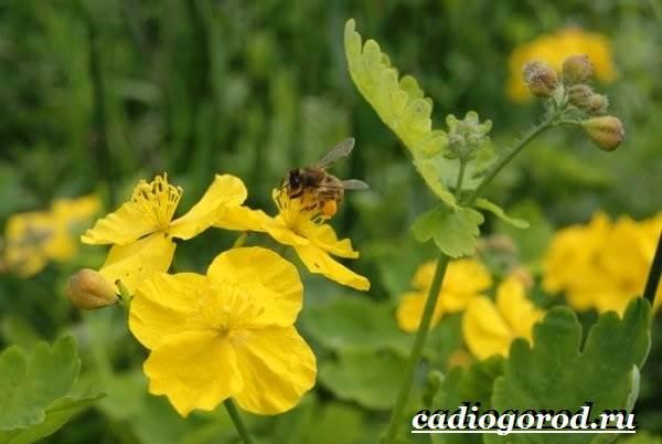 Чистотел-растение-Описание-особенности-и-виды-чистотела-2