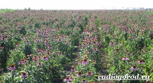 Эхинацея-трава-Выращивание-эхинацеи-Виды-и-польза-эхинацеи-3