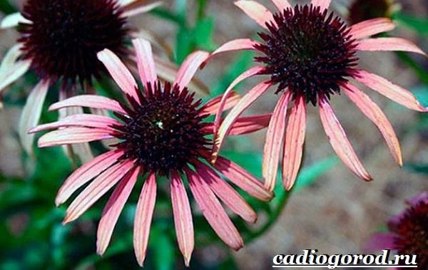 Эхинацея-трава-Выращивание-эхинацеи-Виды-и-польза-эхинацеи-7
