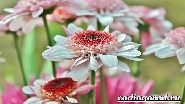 Герберы-цветы-Выращивание-гербер-Уход-за-герберами-8