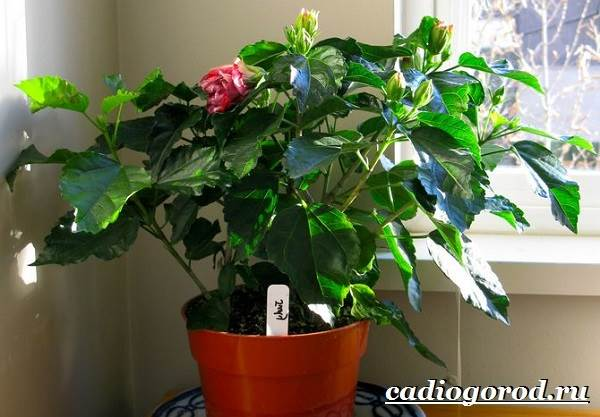 Гибискус-цветок-Выращивание-гибискуса-Уход-за-гибискусом-2