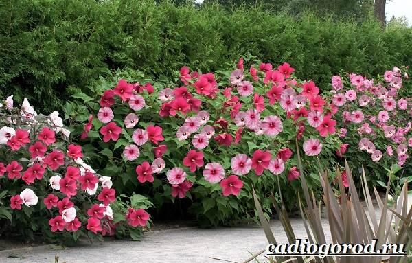 Гибискус-цветок-Выращивание-гибискуса-Уход-за-гибискусом-8