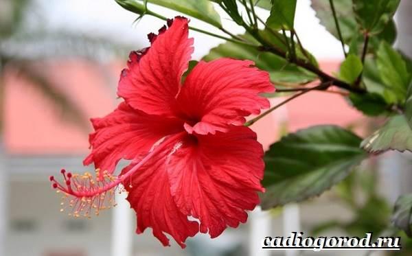 Гибискус-цветок-Выращивание-гибискуса-Уход-за-гибискусом