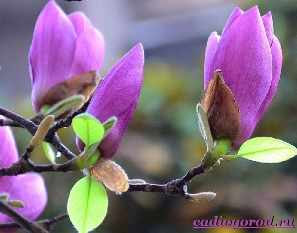 Магнолия-цветок-Выращивание-магнолии-Уход-за-магнолией-1