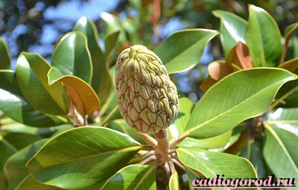 Магнолия-цветок-Выращивание-магнолии-Уход-за-магнолией-11