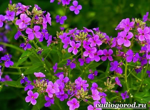 Ночная-фиалка-цветок-Выращивание-ночной-фиалки-Уход-за-ночной-фиалкой-1