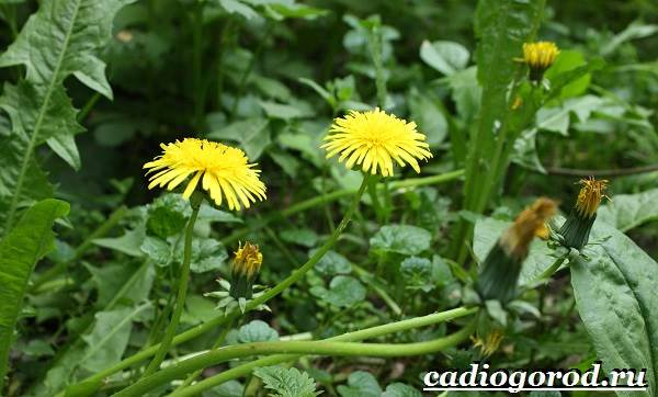 Одуванчик-растение-Описание-особенности-лечебные-свойства-и-применение-одуванчика-7