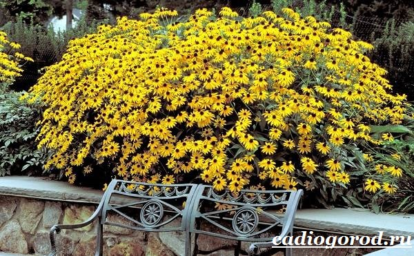 Рудбекия-цветок-Выращивание-рудбекии-Уход-за-рудбекией-17