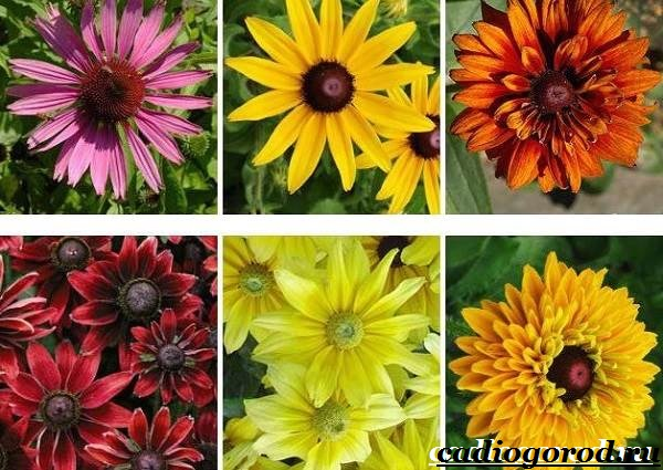 Рудбекия-цветок-Выращивание-рудбекии-Уход-за-рудбекией-20