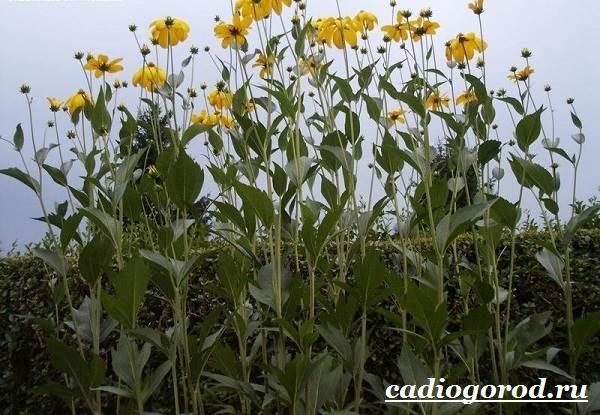 Рудбекия-цветок-Выращивание-рудбекии-Уход-за-рудбекией-25