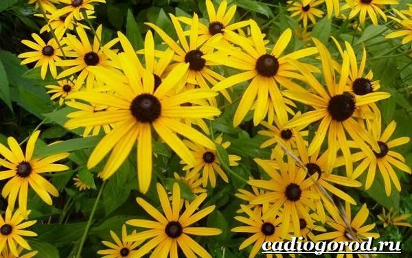 Рудбекия-цветок-Выращивание-рудбекии-Уход-за-рудбекией-9