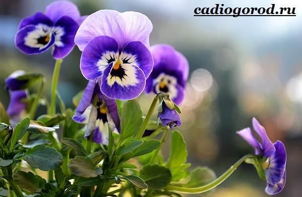 Виола-цветок-Выращивание-виолы-Уход-за-виолой-1