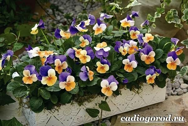 Виола-цветок-Выращивание-виолы-Уход-за-виолой-12