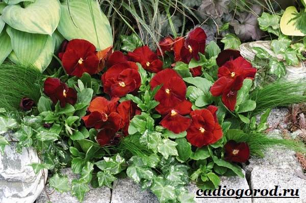 Виола-цветок-Выращивание-виолы-Уход-за-виолой-5