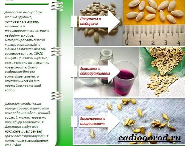 Выращивание-рассады-огурцов-в-домашних-условиях-15