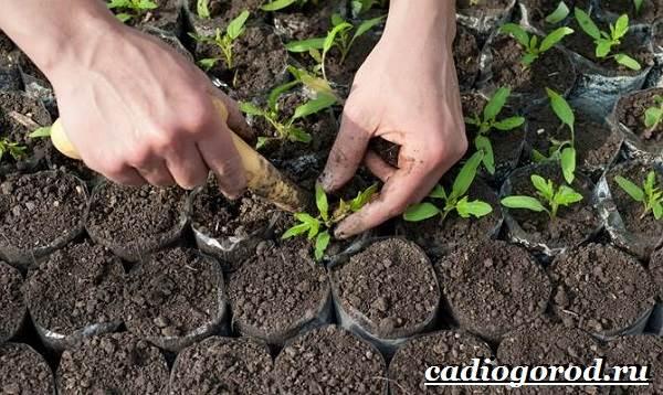 Выращивание-рассады-томатов-в-домашних-условиях-22