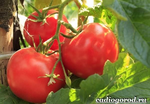 Выращивание-рассады-томатов-в-домашних-условиях-29