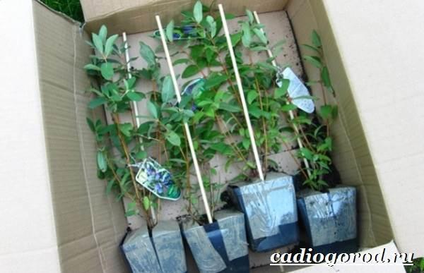 Жимолость-кустарник-Выращивание-жимолости-Уход-за-жимолостью-4