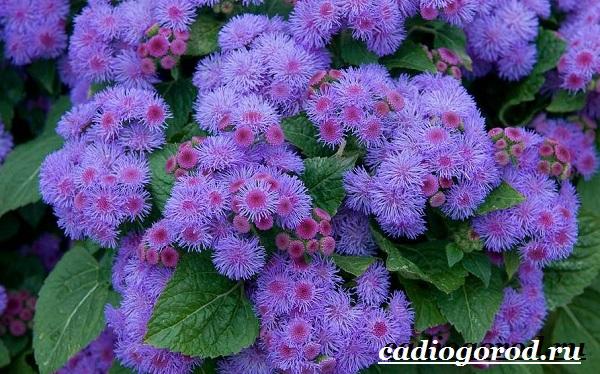 Агератум-цветок-Описание-особенности-виды-и-уход-за-агератумом-6