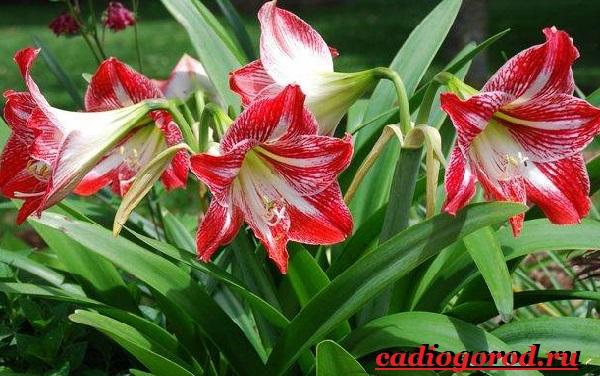 Амариллис-цветок-Описание-особенности-виды-и-уход-за-амариллисом-4