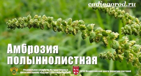 Амброзия-растение-Описание-особенности-вред-и-борьба-с-амброзией-10