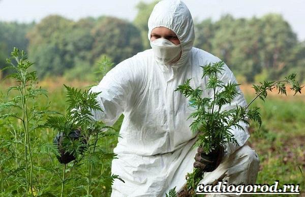 Амброзия-растение-Описание-особенности-вред-и-борьба-с-амброзией-12