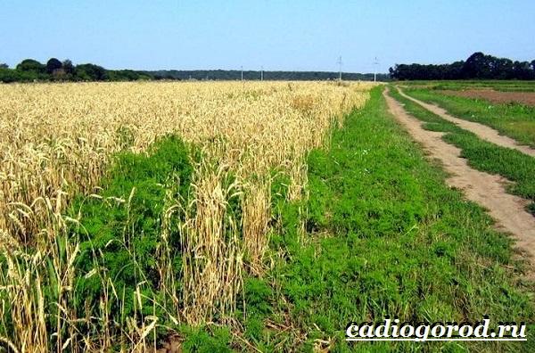 Амброзия-растение-Описание-особенности-вред-и-борьба-с-амброзией-6