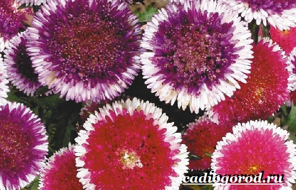 Астра цветок. Описание, особенности, виды и уход за астрой-20