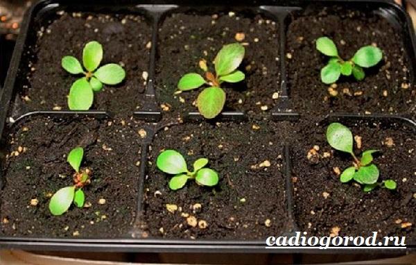 Бадан-растение-Описание-особенности-виды-и-уход-за-баданом-11