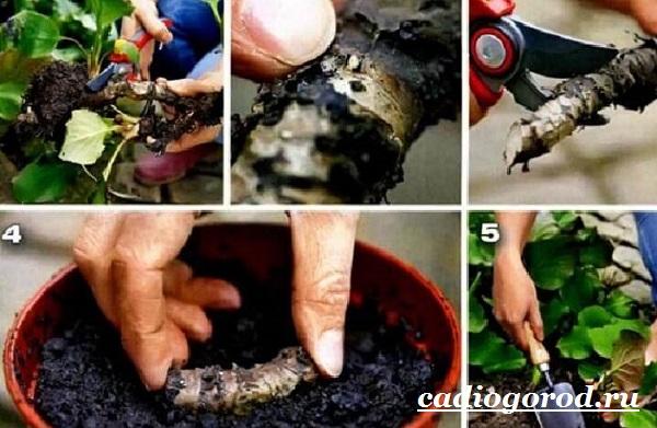 Бадан-растение-Описание-особенности-виды-и-уход-за-баданом-12