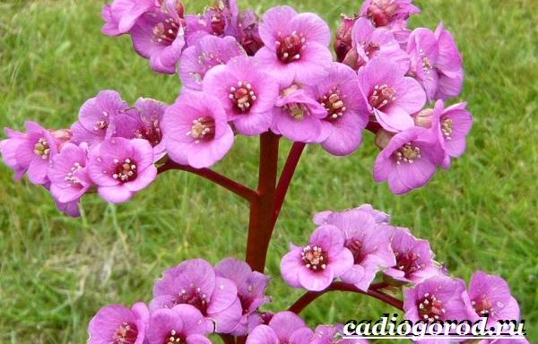 Бадан-растение-Описание-особенности-виды-и-уход-за-баданом-8